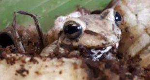 Asda the frog